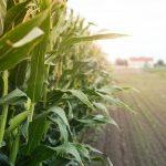 393146_972574_corn_field_sunset_web_