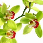 orquideas-raras-shenzhen-nongke-medium