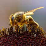 Bee_Collecting_Pollen_2004-08-14