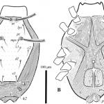 Lupaeus stolli Wurlitzer & Ferla sp. nov. female