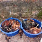 Duas bacias grandes, com galinhas mortas dentro, foram deixadas em uma das entradas do Cemitério Municipal (Foto: Gabriela Hautrive)